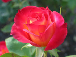 Beautiful Flower Pictures Romantic Flowers Rose Flowers Pinterest Rose Flowers And