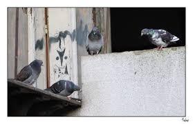 Pigeons Images?q=tbn:ANd9GcQCGrJaY8t0Anjop2k8FGpaZp8dgOSwEhcp3VVGoYtjG3LRXuB-6A