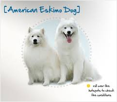 pictures of a american eskimo dog american eskimo dog condition checker