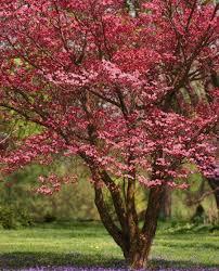 best 25 dogwood ideas on dogwood bush dogwood