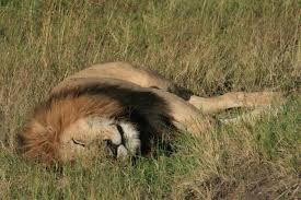 kenya 5 simba lion king dc rainmaker