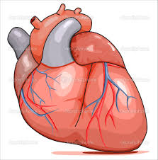 real human heart clipart clipartxtras