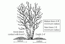 how to grow and maintain a healthy birch tree