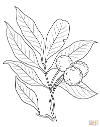 lychee fruit drawing lychee coloring pages free coloring pages