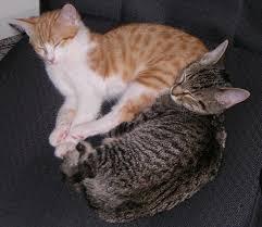 file merope u0027s kitties jpg wikipedia