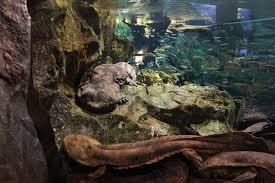 japanese giant salamander wikipedia