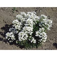 shop 2 5 quart candytuft l6685 at lowes com