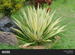 ornamental plants agave caribbean scientific name agave