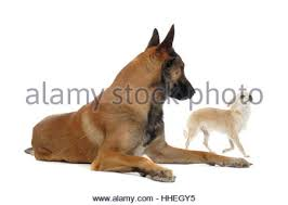 belgian malinois en espanol two dogs a young belgian malinois and a blue heeler wearing