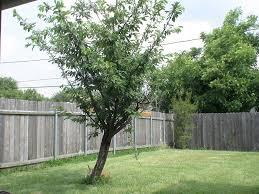 triyae com u003d backyard trees for privacy various design