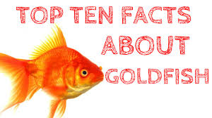 top 10 facts about goldfish that will your mind