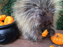teddy bear the talking porcupine chatters away while devouring his
