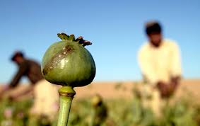 opium the drug that makes the taliban possible the nation