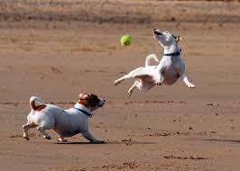australian shepherd jack russell terrier jack russell terrier wikiwand