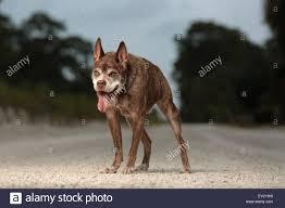 Ugliest Ugliest Dog Stock Photos U0026 Ugliest Dog Stock Images Alamy