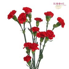 bulk carnations carnation stems wholesale carnations carnations in bulk