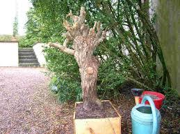 bonsai saule pleureur salix babylonica saule pleureur page 2 les chuhin et autres