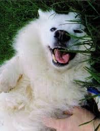 american eskimo dog adoption eskie rescuers united