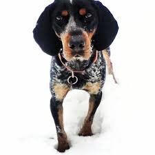 bluetick coonhound stuffed animal 49 best cute critters images on pinterest animals bluetick
