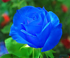 Blue Roses Blue Rose Live Wallpaper Android Apps On Google Play