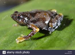 narrow mouthed frog stock photos u0026 narrow mouthed frog stock
