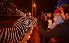 holiday lights safari 2017 november 17 hollywild animal park reopening for holiday lights show news
