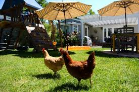 Chickens In The Backyard by Scrambling To Build Chicken Coops U2013 Orange County Register
