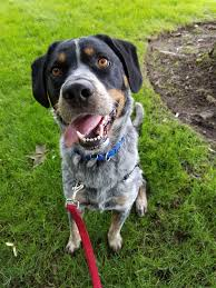 bluetick coonhound exercise featured foster home dog of the week cooper news of mill creek