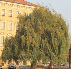weeping willow tree god as a gardener