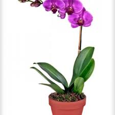 Orchid Delivery New York Florist Flower Delivery By Chelsea Florist Inc