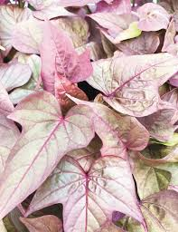 best 25 foliage ornamental plant ideas on ornamental