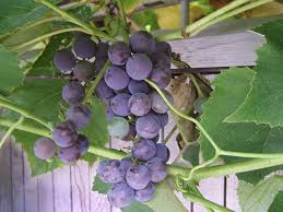growing grapes for home use yard and garden university of