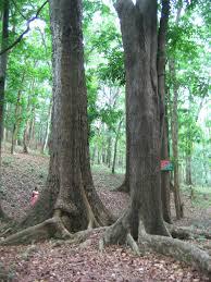 file mahagoni tree jpg wikimedia commons