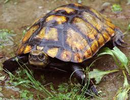 temporary ban placed on exports of some japanese pond turtles as