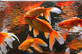 gold fish in aquarium popular pet and feng shui symbol of wealth
