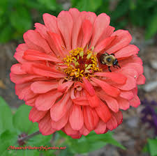 zinnia flower 5 big zinnia flowers for busy butterfly garden growing tips