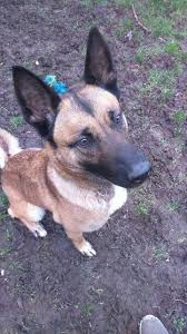 belgian shepherd x rottweiler ivy u2013 4 year old female belgian shepherd cross dog for adoption