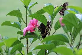 file butterfly landed to hibiscus flowers of garden jpg
