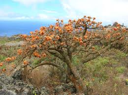 native plant seeds for sale wiliwili native hawaiian garden nhg121215