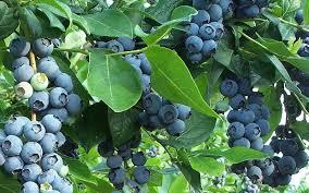 edible ornamentals berry bushes phigblog