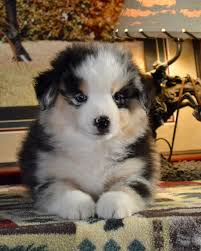 australian shepherd 500 miniature australian shepherd breeder in oregon