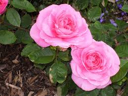 Meaning Of Pink Roses Flowers - types of pink flowers and their meaning
