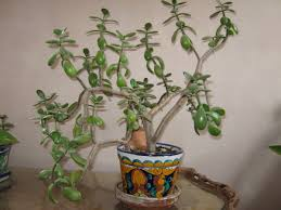 Spindly jade plant