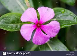 madagascar native plants periwinkle medicine stock photos u0026 periwinkle medicine stock