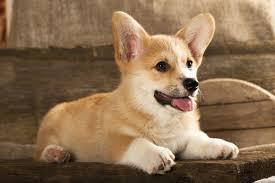 australian shepherd dog names cool dog names american kennel club