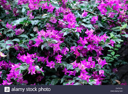 bougainvillea spectabilis pink flowers flowering booms blossoms
