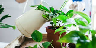 Indoor Plants by The Ultimate Guide To Watering Indoor Plants When To Water Plants