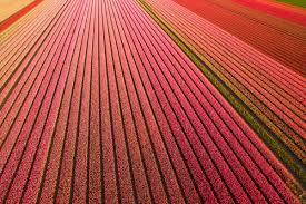 tulip fields u2013 netherlands dronestagram