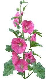 hollyhock flowers hollyhock flowers pink free photo on pixabay