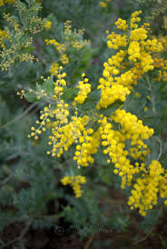 native plant solutions best 25 native australians ideas on pinterest australian native